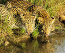Leopard cubs drinking