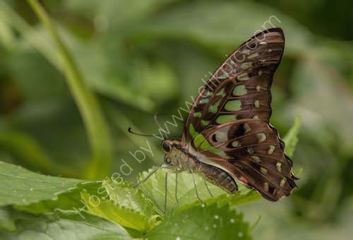 2nd. Malachite butterfly