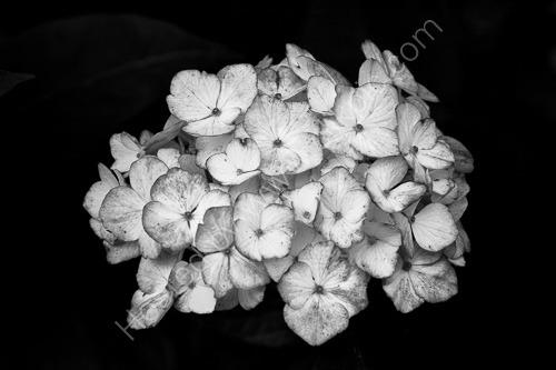 3rd. Hydrangea flower head