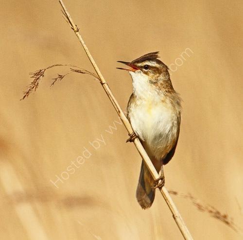2nd.= Sedge warbler