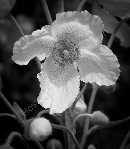 3rd. Himalayan poppy