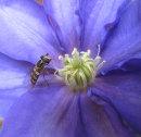 HC. Pollen hunter