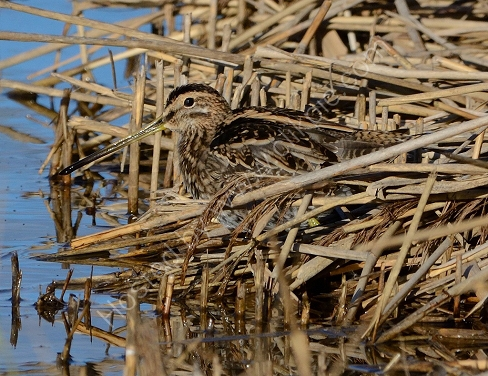 Snipe - camouflaged