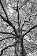 HC. The mighty oak
