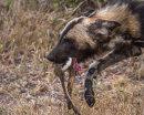 Wild dog with kill