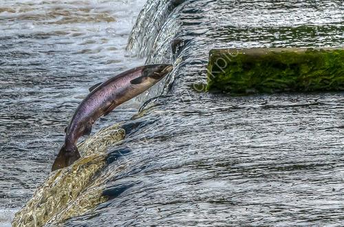1st. Wylam salmon jump