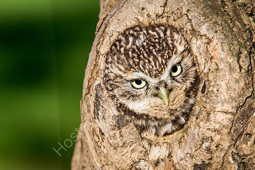 Owl in tree