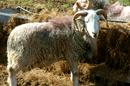 Not So Sheepish