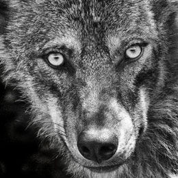 Andalusian Wolf