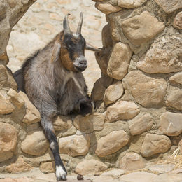 Goat to sleep escaping