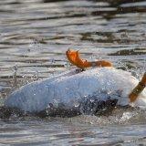 Goose bathing