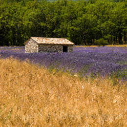 A 'Cabane' in a field of lavender with a filed of corn in Provence, France