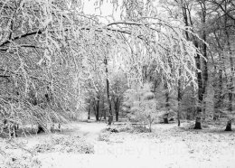 1184 - Winter snow covered trees in the  New Forest National Park, Hampshire, England