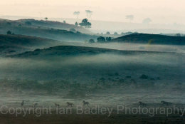 1532c - Ponies running free on a misty moor in the New Forest National Park, Hampshire, England