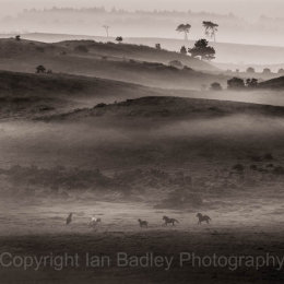 Ponies running free on a misty moor in the New Forest National Park, Hampshire, England
