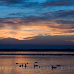 Swans at twilight, Mudeford Harbour, Christchurch, Dorset, England
