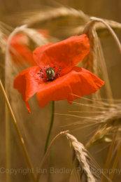 A lone poppy in a field of barley, Jura, France