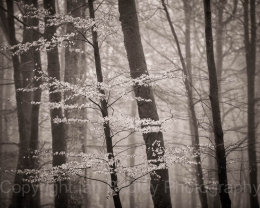 Misty beech trees in New Forest National Park in winter
