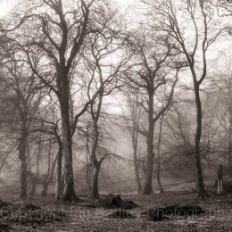 Moody trees with morning mist in New Forest National Park in winter