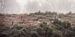 Fallow deer in New Forest National Park, Hampshire, England