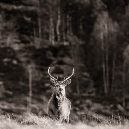 Red deer in the highlands of Scotland