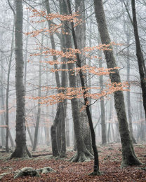 Misty Beech trees in portrait, New Forest National Park, Hampshire, England