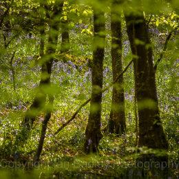 Bluebells through the leaves, Dorset, England