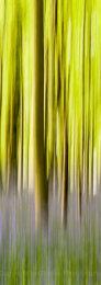 Panned bluebell wood, Dorset, England