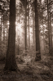 6647 - Sun rise and saplings in an enclosure in the New Forest National Park, Hampshire, England