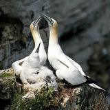 Gannet Family