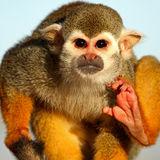 Squirrel Monkey 01