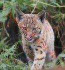 PIC SHOWS:- Carpathian Lynx kitten