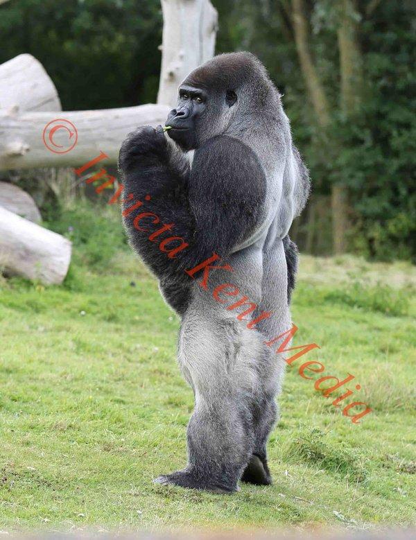 PIC SHOWS:- Silverback Gorilla standing