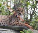 PIC SHOWS:- Carpathian Lynx