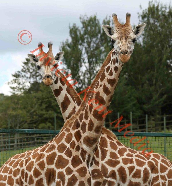PIC SHOWS:- Pair of Giraffes