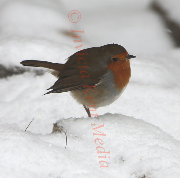 PIC SHOWS:- Robin feeding in the snow 11.3.13
