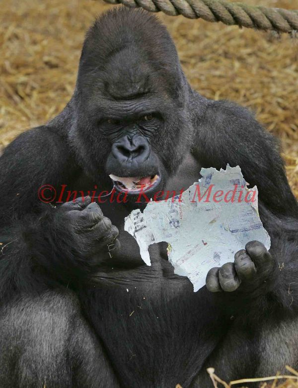 PIC SHOW;GORILLA KIFU AGE 22YRS ENJOYS EATING A HOME MADE EASTER EGG MADE FROM TABLOID NEWSPAPERS ,AT HOWLETTS ANIMAL PARK  ENJOYING THE SUNSHINE.