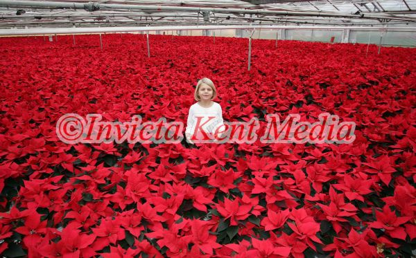 PICS OF POINSETTIA,S THE XMAS PLANT  AT STAPLEHURST NURSERIES ,STAPLEHURST KENT.CLARA FRANKE AGE 7YRS HAS NO PROBLEM CHOOSING A CHRISTMAS PRESENT FOR HER MUM FRANCES ,SHE HAS 40,000 TO CHOOSE FROM AT HER MUM AND DADS NURSERY IN STAPLEHURST KENT.