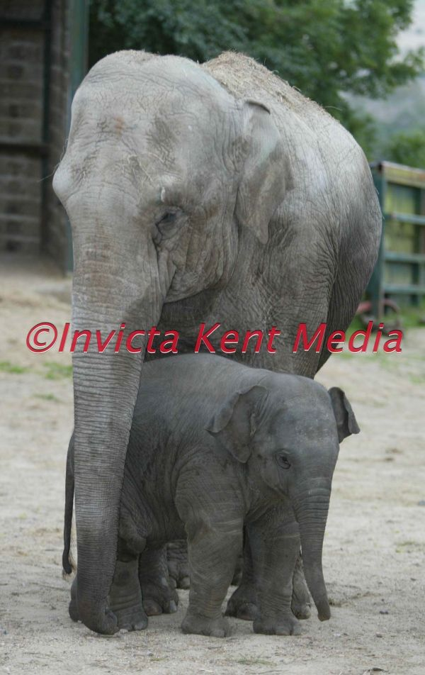 baby elephant called SITTANG  born 30/6/02<br>