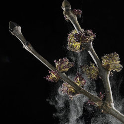 Ash tree (Fraxinus excelsior) flowers discharging pollen - high speed image.