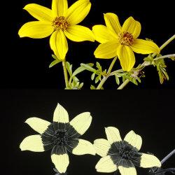 Beggarticks (Bidens sp.) in visible light and UV