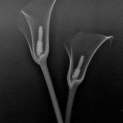 X ray of Calla Lily