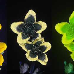 """Marsh Marigold (Caltha palustris) in visible light, UV and """"bee vision"""""""