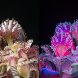 Western Australian Pitcher Plant: Cephalotus folicularis. Visible and UV fluorescence