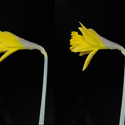 Daffodil flower opening over an 8 hour period