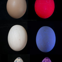 Various eggs fluorescing in UV radiation (365nm)