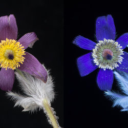 Pasque Flower (Pulsatilla vulgaris) in visible light and UV fluorescence