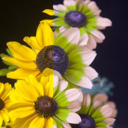 """Rudbeckia """"Lemon Toto"""" in visible light and """"bee vision"""""""