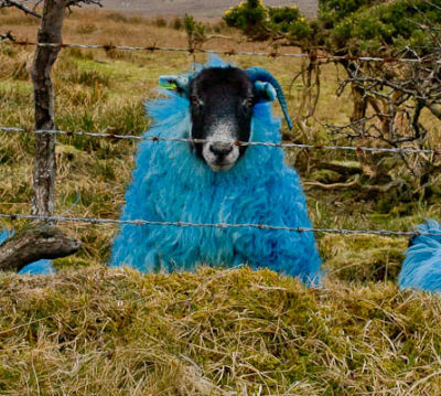 The Blue Sheep