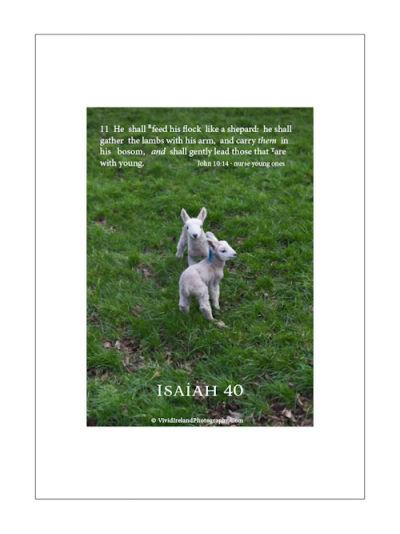 Isaiah 40 V 11 Lambs